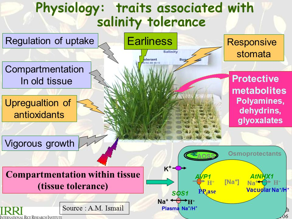 R.K.Singh Plant Breeding Course, April 06 Physiology: traits associated with salinity tolerance Regulation of uptakeCompartmentation In old tissue Upregualtion of antioxidants Vigorous growth Responsive stomata [Na + ] Osmoprotectants AOSS K+K+ AtNHX1 H+H+ Na + Vacuolar Na + /H + SOS1 Na + H+H+ Plasma Na + /H + AVP1 H+H+ PP i ase Compartmentation within tissue (tissue tolerance) Protective metabolites Polyamines, dehydrins, glyoxalates Earliness Source : A.M.