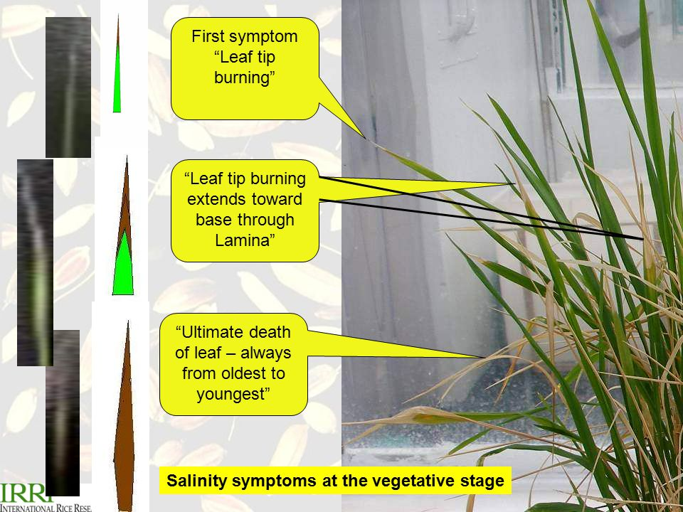 R.K.Singh Plant Breeding Course, April 06 First symptom Leaf tip burning Leaf tip burning extends toward base through Lamina Ultimate death of leaf – always from oldest to youngest Salinity symptoms at the vegetative stage