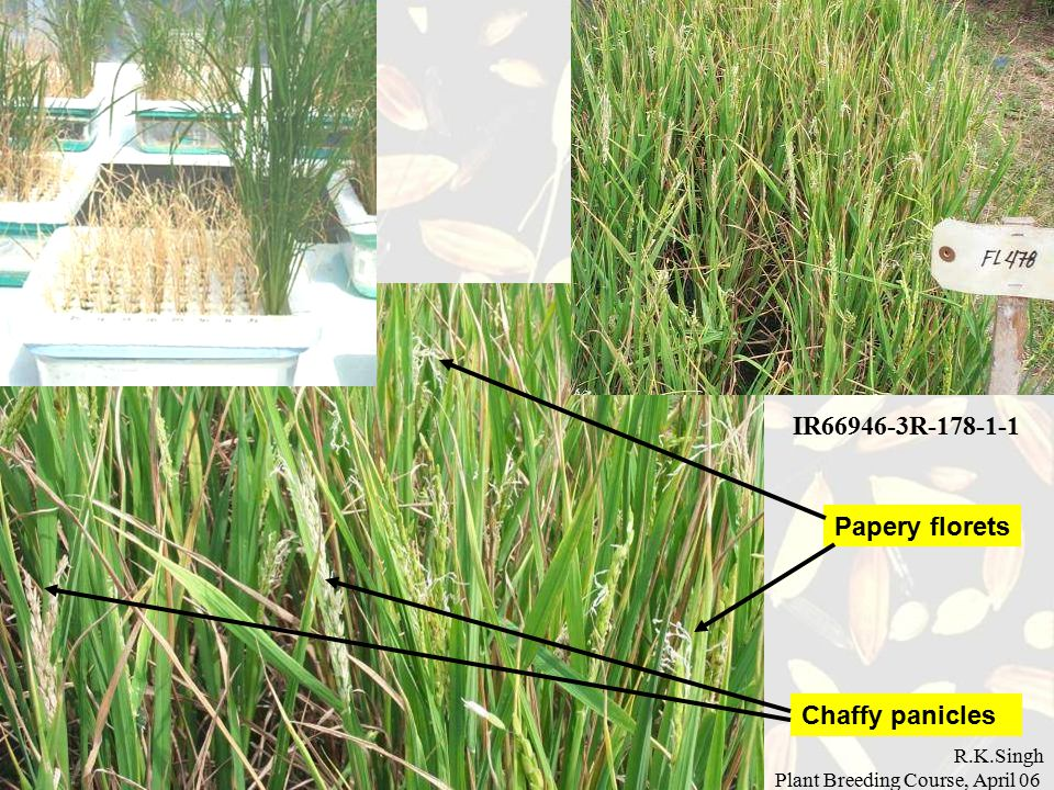 R.K.Singh Plant Breeding Course, April 06 Chaffy panicles Papery florets IR66946-3R-178-1-1