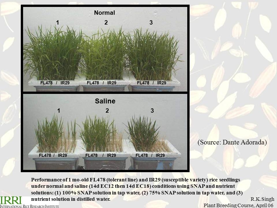 R.K.Singh Plant Breeding Course, April 06 Normal Saline 1 2 3 FL478 / IR29 FL478 / IR29 FL478 / IR29 Performance of 1 mo-old FL478 (tolerant line) and IR29 (susceptible variety) rice seedlings under normal and saline (14d EC12 then 14d EC18) conditions using SNAP and nutrient solutions: (1) 100% SNAP solution in tap water, (2) 75% SNAP solution in tap water, and (3) nutrient solution in distilled water.