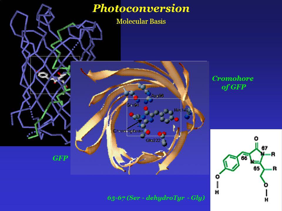 65-67 (Ser - dehydroTyr - Gly) Photoconversion Molecular Basis GFP Cromohore of GFP