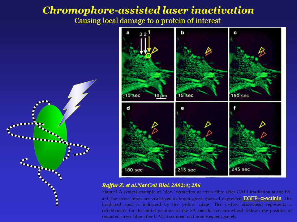 Chromophore-assisted laser inactivation Causing local damage to a protein of interest Rajfur Z.