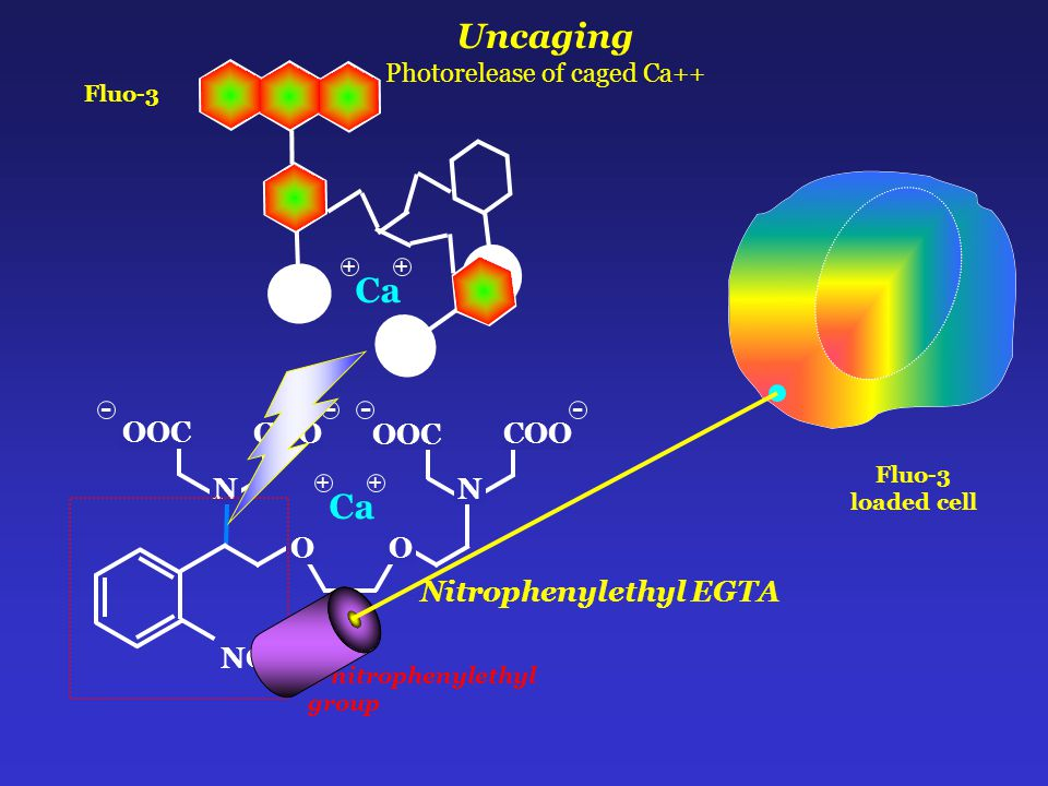 Uncaging Photorelease of caged Ca++ 2-nitrophenylethyl group NO 2 COO OOC OO N --- COO N - Ca + + Nitrophenylethyl EGTA Fluo-3 loaded cell Ca + +
