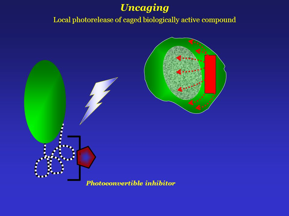 Photoconvertible inhibitor Uncaging Local photorelease of caged biologically active compound