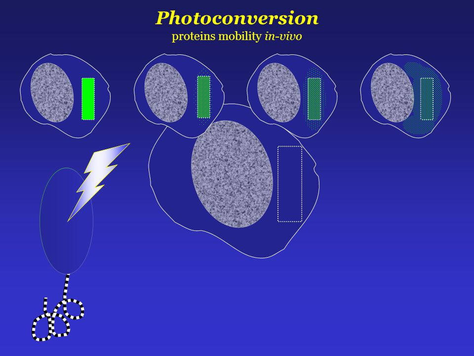 Photoconversion proteins mobility in-vivo