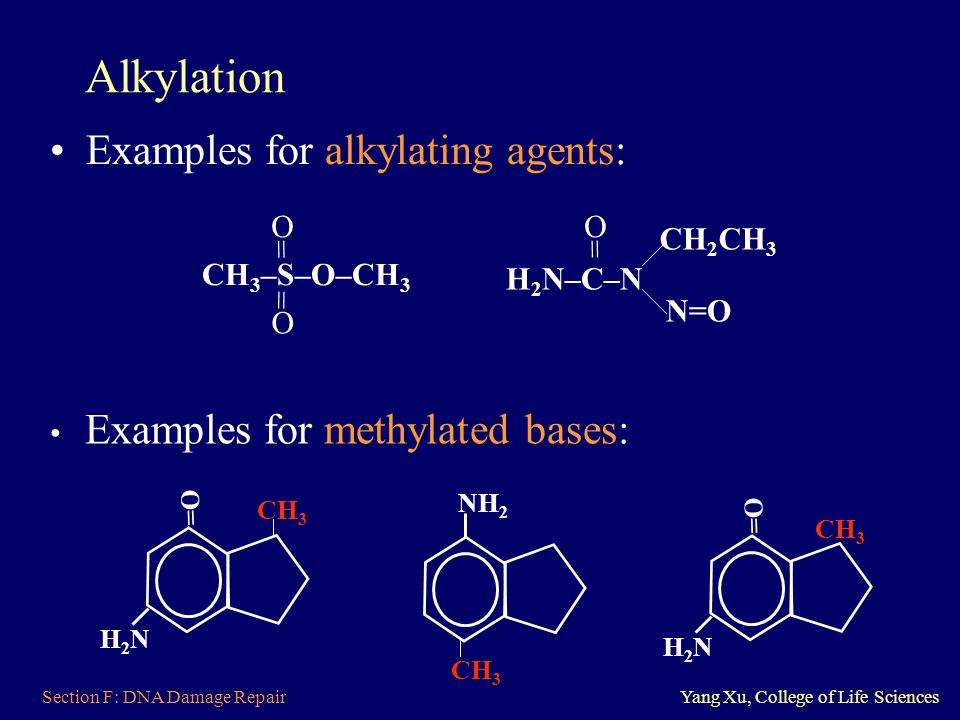 Section F: DNA Damage RepairYang Xu, College of Life Sciences Alkylation Examples for alkylating agents: O = CH 3 –S–O–CH 3 O = H 2 N–C–N CH 2 CH 3 N=