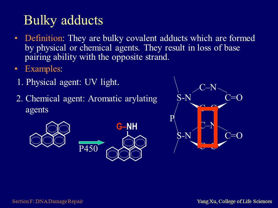 Section F: DNA Damage RepairYang Xu, College of Life Sciences Bulky adducts Definition: They are bulky covalent adducts which are formed by physical o