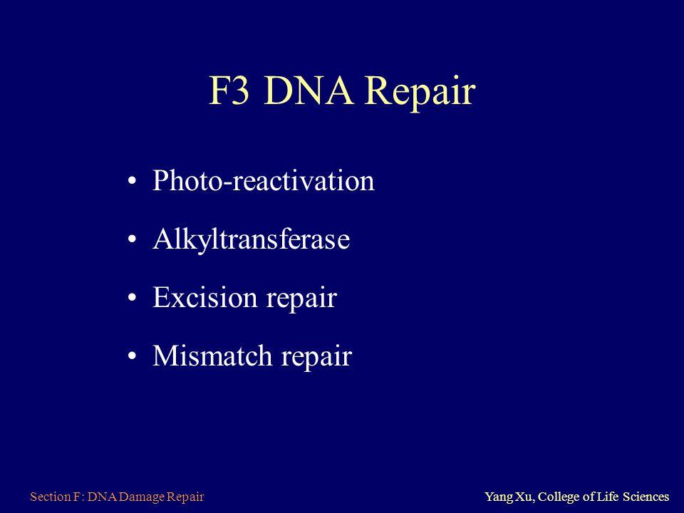 Section F: DNA Damage RepairYang Xu, College of Life Sciences F3 DNA Repair Photo-reactivation Alkyltransferase Excision repair Mismatch repair