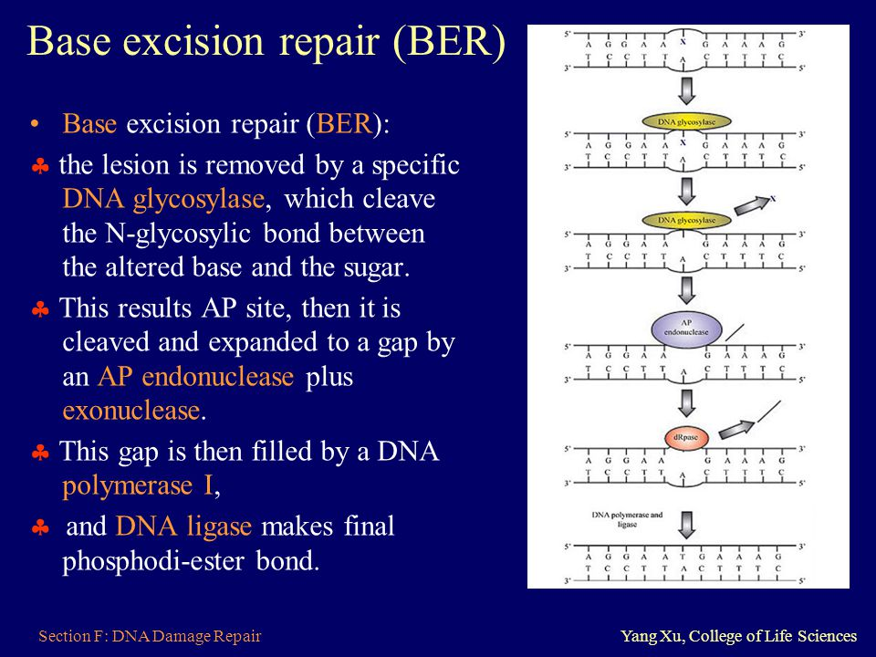 Section F: DNA Damage RepairYang Xu, College of Life Sciences Base excision repair (BER) Base excision repair (BER):  the lesion is removed by a spec