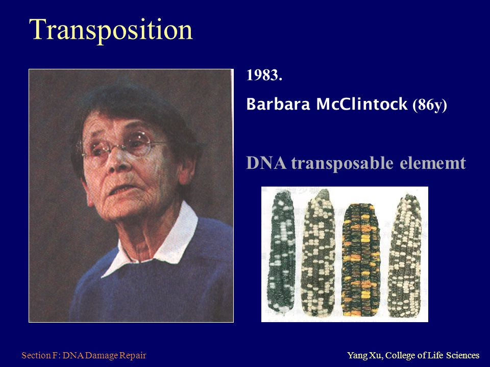 Section F: DNA Damage RepairYang Xu, College of Life Sciences 1983. Barbara McClintock (86y) DNA transposable elememt Transposition