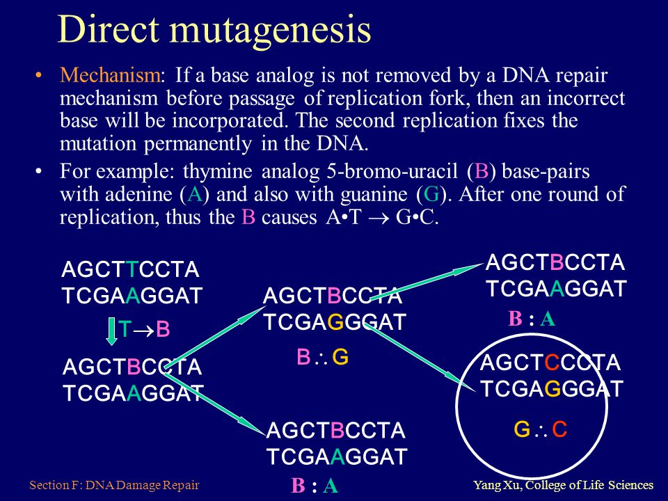 Section F: DNA Damage RepairYang Xu, College of Life Sciences Direct mutagenesis Mechanism: If a base analog is not removed by a DNA repair mechanism