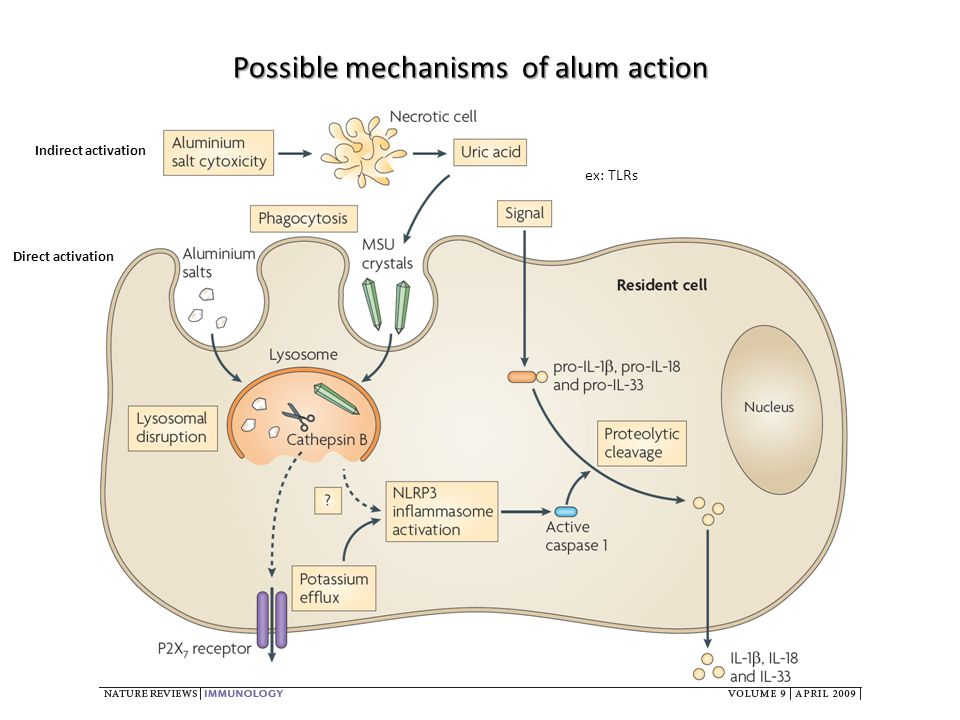 Indirect activation Direct activation ex: TLRs Possible mechanisms of alum action