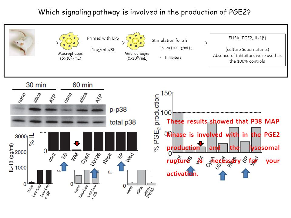 Which signaling pathway is involved in the production of PGE2.