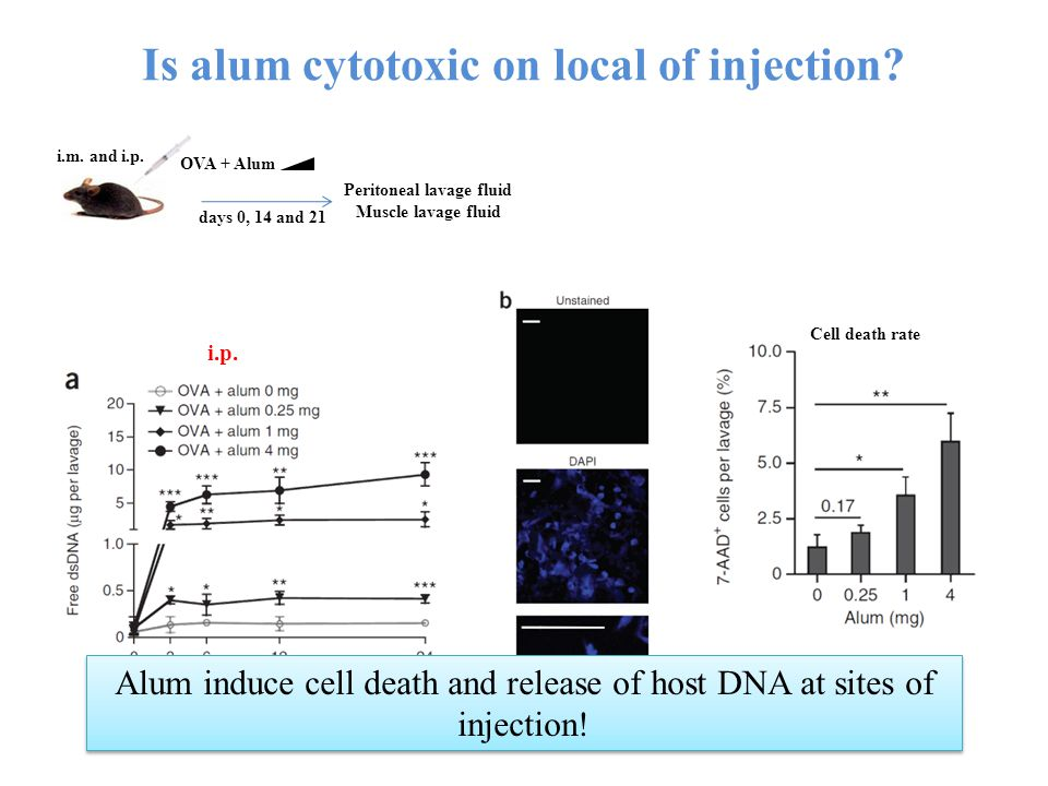 Is alum cytotoxic on local of injection.