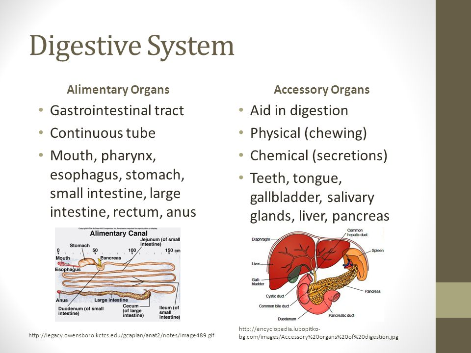 Digestive System Alimentary Organs Gastrointestinal tract Continuous tube Mouth, pharynx, esophagus, stomach, small intestine, large intestine, rectum, anus Accessory Organs Aid in digestion Physical (chewing) Chemical (secretions) Teeth, tongue, gallbladder, salivary glands, liver, pancreas http://encyclopedia.lubopitko- bg.com/images/Accessory%20organs%20of%20digestion.jpg http://legacy.owensboro.kctcs.edu/gcaplan/anat2/notes/Image489.gif