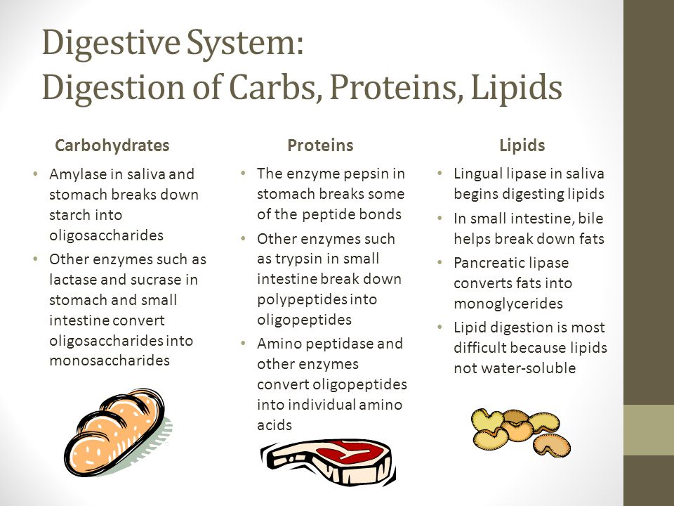 Digestive System: Digestion of Carbs, Proteins, Lipids Carbohydrates Amylase in saliva and stomach breaks down starch into oligosaccharides Other enzymes such as lactase and sucrase in stomach and small intestine convert oligosaccharides into monosaccharides Proteins The enzyme pepsin in stomach breaks some of the peptide bonds Other enzymes such as trypsin in small intestine break down polypeptides into oligopeptides Amino peptidase and other enzymes convert oligopeptides into individual amino acids Lipids Lingual lipase in saliva begins digesting lipids In small intestine, bile helps break down fats Pancreatic lipase converts fats into monoglycerides Lipid digestion is most difficult because lipids not water-soluble