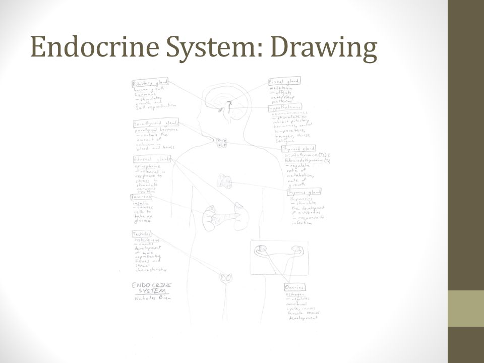 Endocrine System: Drawing