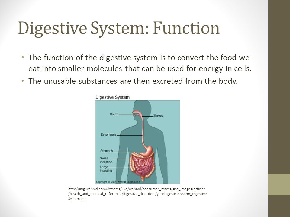 Digestive System: Function The function of the digestive system is to convert the food we eat into smaller molecules that can be used for energy in cells.