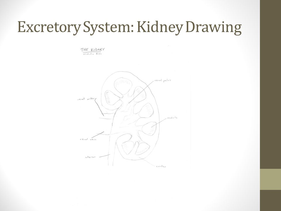 Excretory System: Kidney Drawing