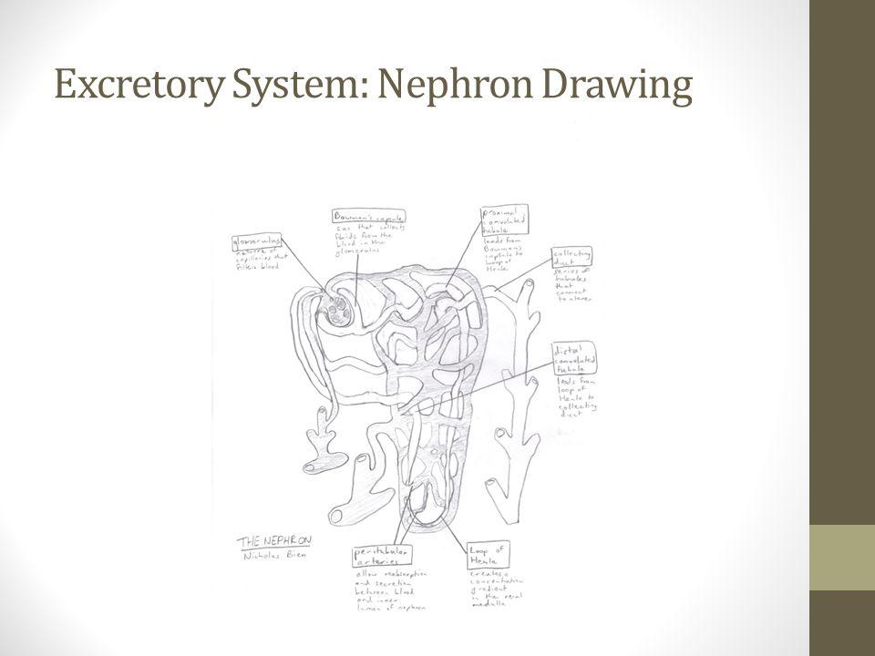 Excretory System: Nephron Drawing