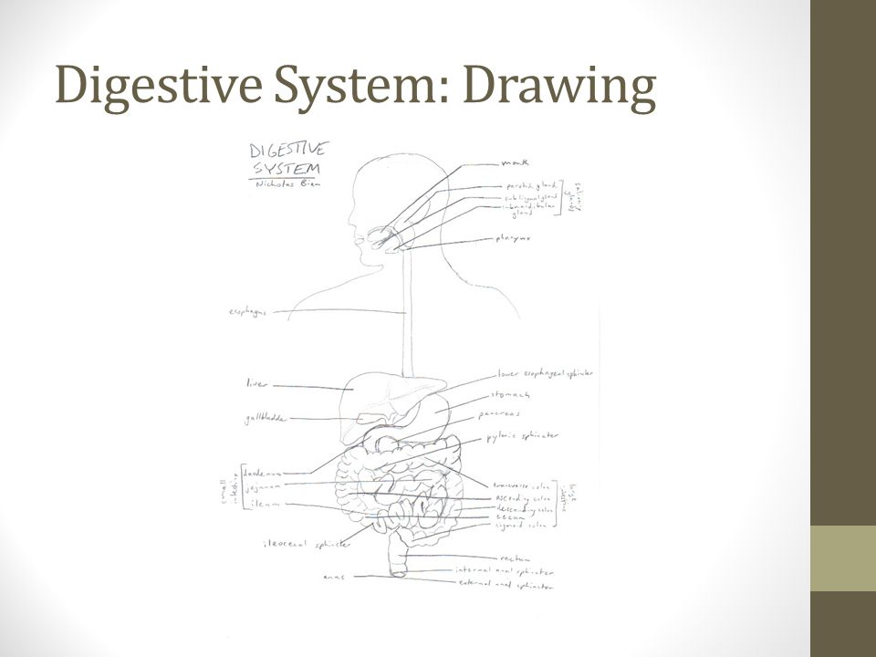 Digestive System: Drawing