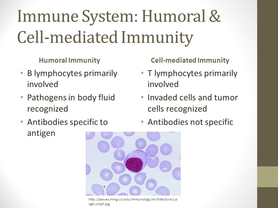 Immune System: Humoral & Cell-mediated Immunity Humoral Immunity B lymphocytes primarily involved Pathogens in body fluid recognized Antibodies specific to antigen Cell-mediated Immunity T lymphocytes primarily involved Invaded cells and tumor cells recognized Antibodies not specific http://jeeves.mmg.uci.edu/immunology/Architecture/La rgeLymph.jpg