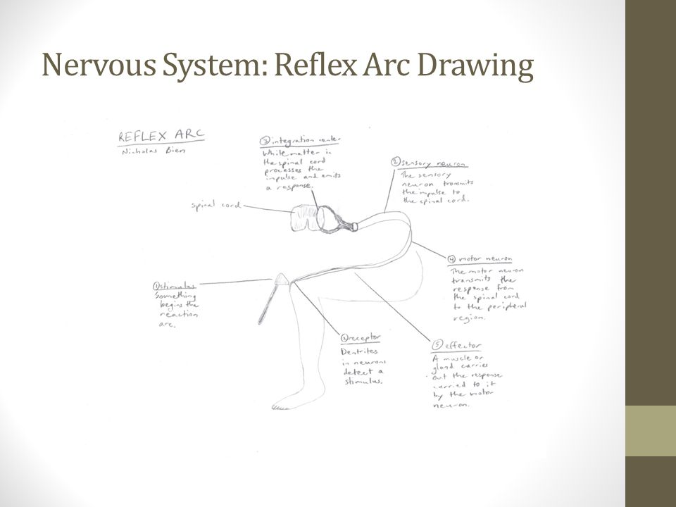Nervous System: Reflex Arc Drawing