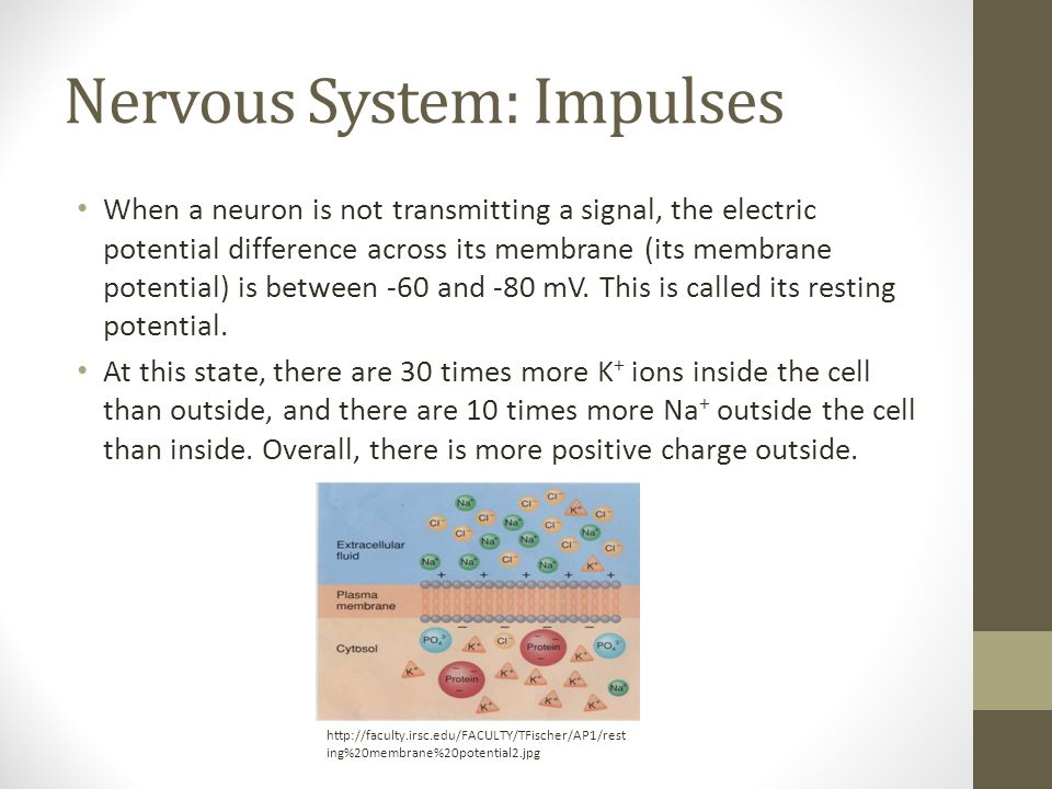 Nervous System: Impulses When a neuron is not transmitting a signal, the electric potential difference across its membrane (its membrane potential) is between -60 and -80 mV.