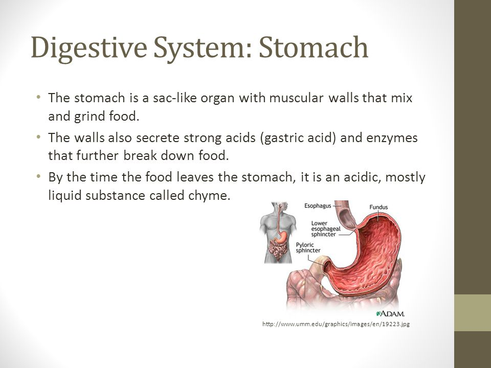 Digestive System: Stomach The stomach is a sac-like organ with muscular walls that mix and grind food.