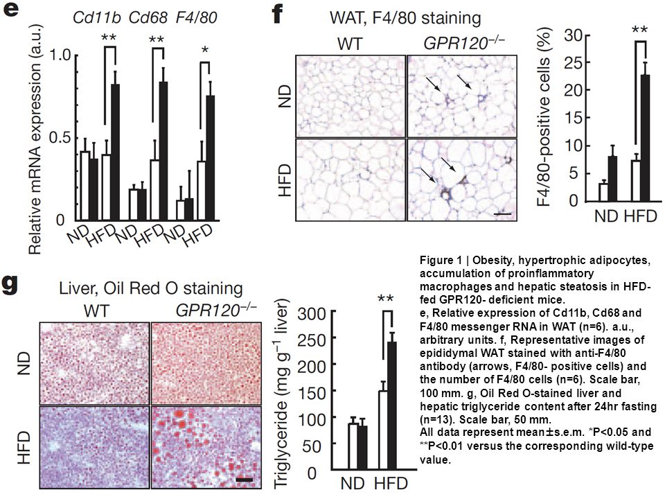 Figure 1 | Obesity, hypertrophic adipocytes, accumulation of proinflammatory macrophages and hepatic steatosis in HFD- fed GPR120- deficient mice.