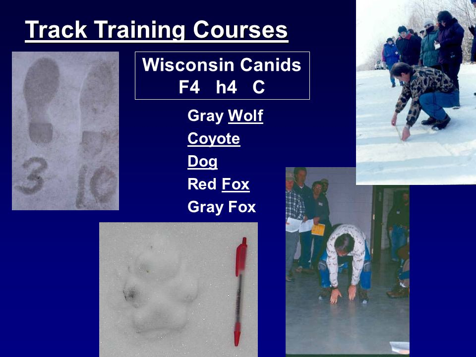 Wisconsin Canids F4 h4 C Gray Wolf Coyote Dog Red Fox Gray Fox Track Training Courses