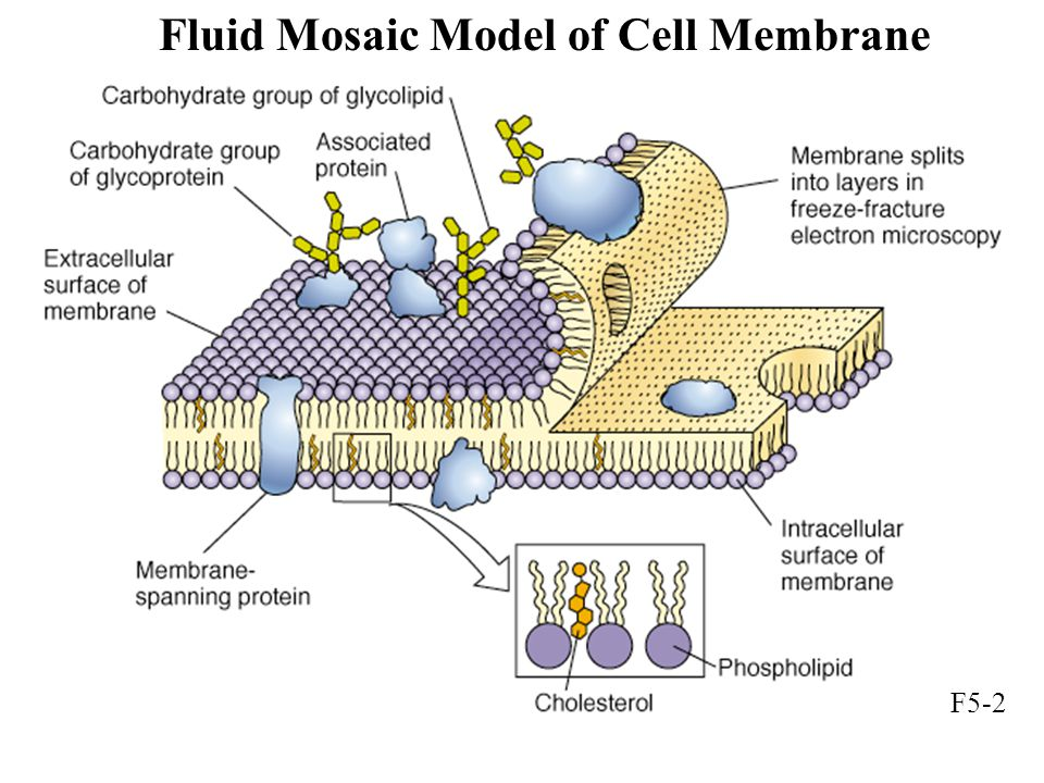 Fluid Mosaic Model of Cell Membrane F5-2