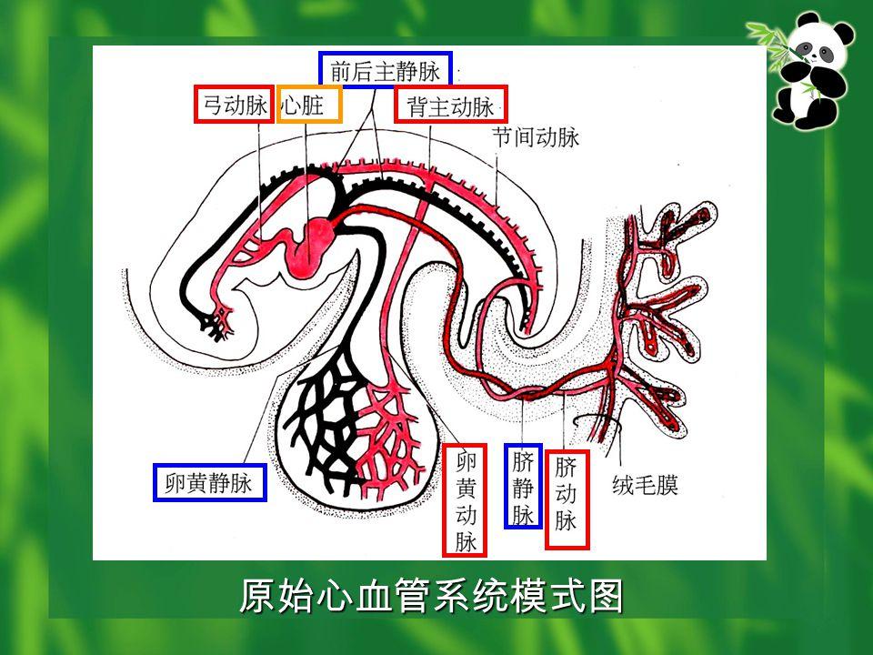 原始心血管系统模式图