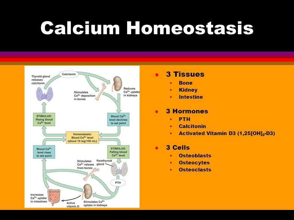 Calcium Homeostasis l 3 Tissues Bone Kidney Intestine l 3 Hormones PTH Calcitonin Activated Vitamin D3 (1,25[OH] 2 -D3) l 3 Cells Osteoblasts Osteocyt