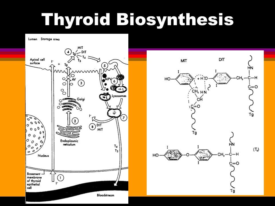 Thyroid Biosynthesis