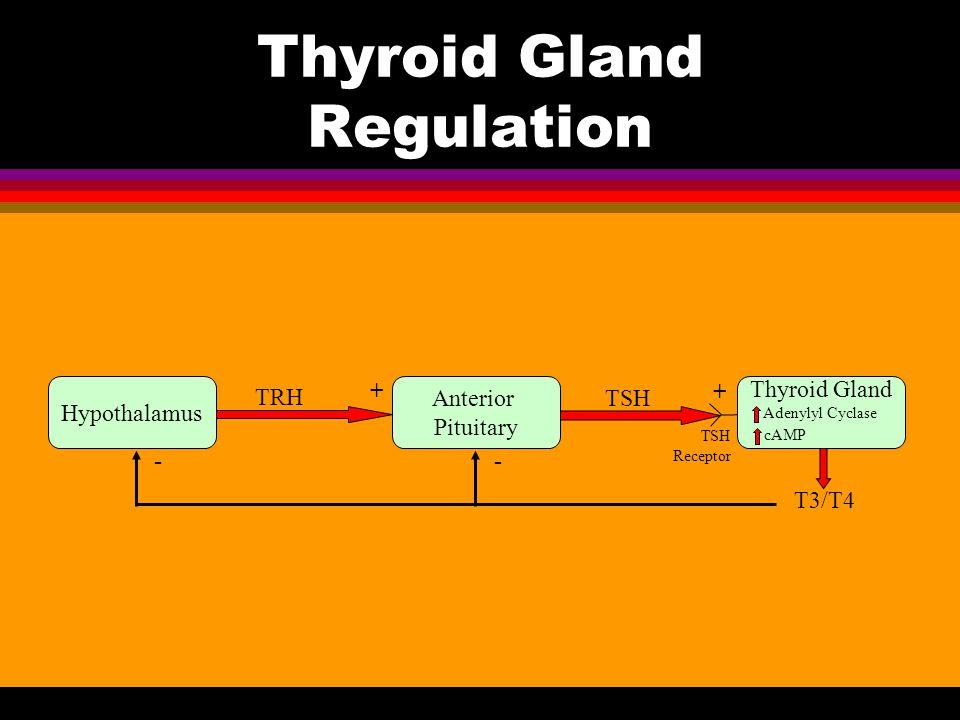 Thyroid Gland Regulation Hypothalamus Anterior Pituitary Thyroid Gland TRH T3/T4 TSH + + -- TSH Receptor Adenylyl Cyclase cAMP