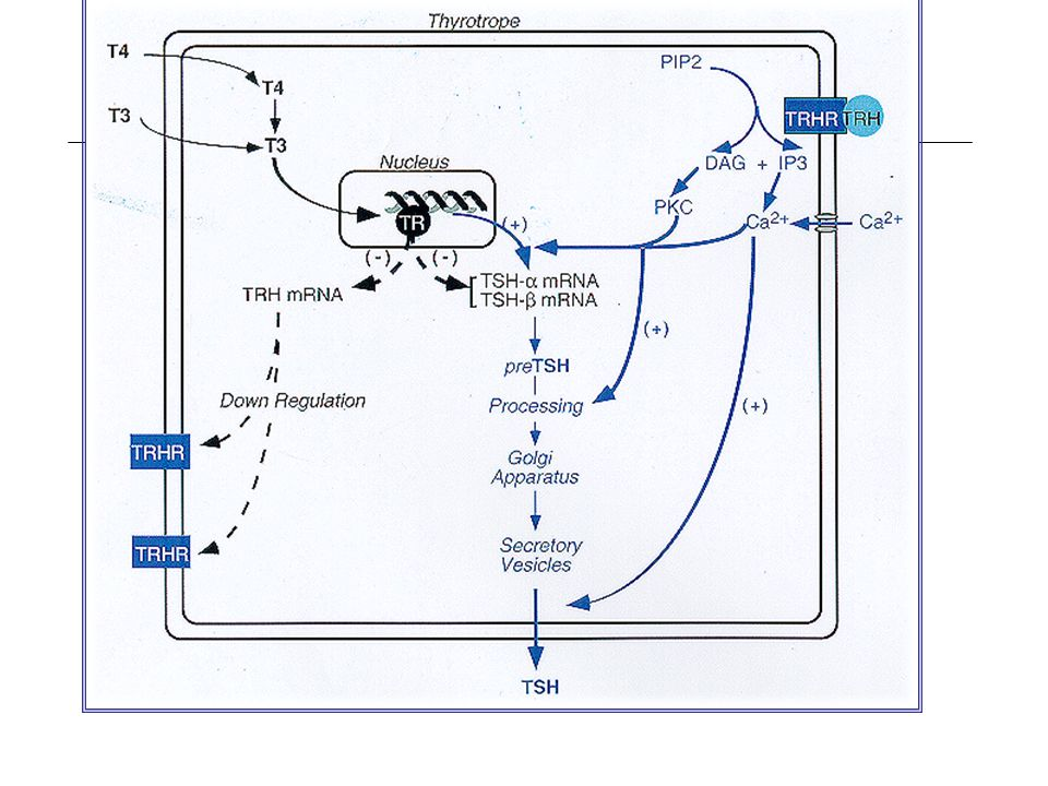 PITUITARY-THYROTROPE CELL