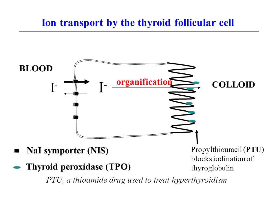 Ion transport by the thyroid follicular cell I-I- I-I- organification Propylthiouracil (PTU) blocks iodination of thyroglobulin COLLOID BLOOD NaI symp