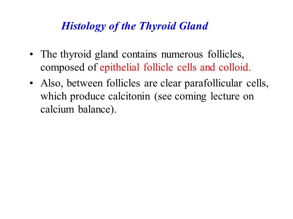 The thyroid gland Thyroid Gland: Hormones and Iodine Metabolism