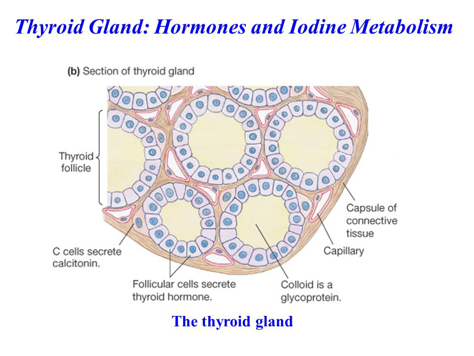 Thyroid hormone synthesis and secretion is regulated by two main mechanisms: - an autoregulation mechanism, which reflects the available levels of iodine - regulation by the hypothalamus and anterior pituitary Regulation of Thyroid Hormone Levels
