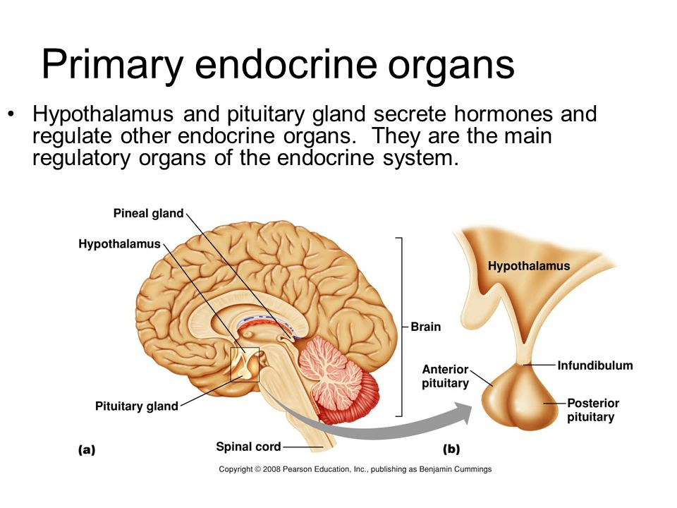 Hypothalamus Located below the thalamus and above the pituitary gland (=epiphysis) Regulates the pituitary gland secretions through two different mechanisms