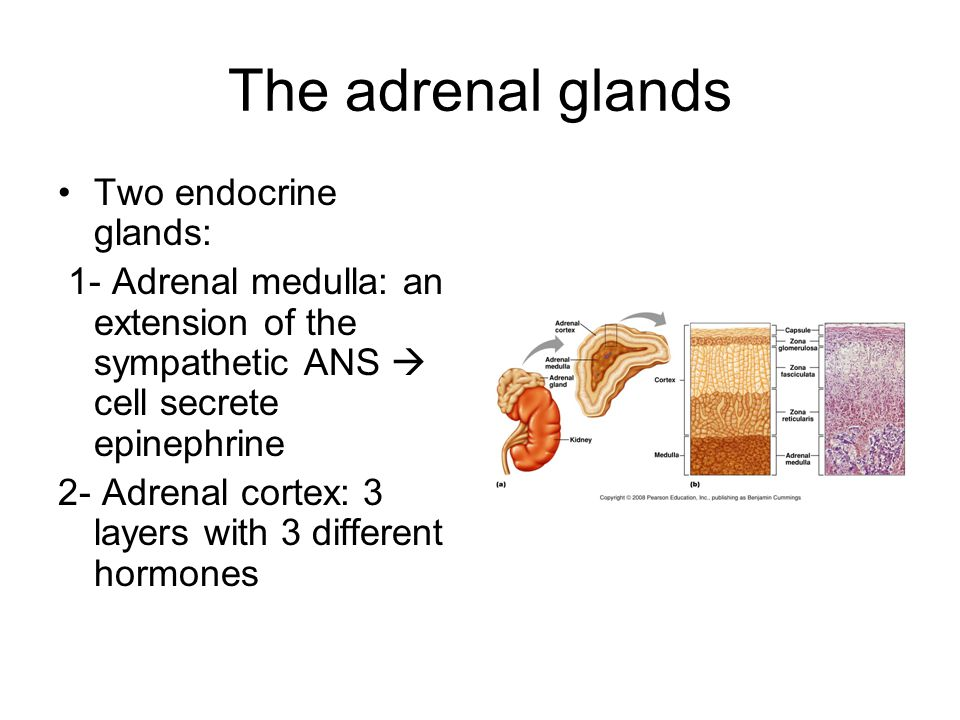 The adrenal glands Two endocrine glands: 1- Adrenal medulla: an extension of the sympathetic ANS  cell secrete epinephrine 2- Adrenal cortex: 3 layer