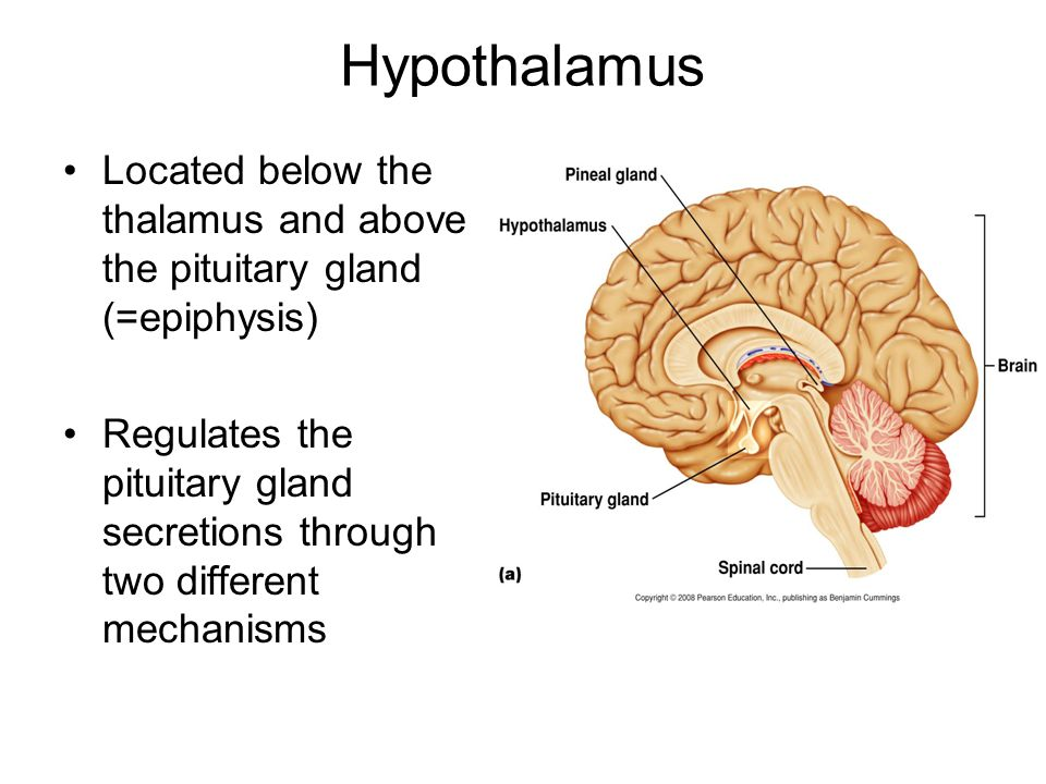 Hypothalamus Located below the thalamus and above the pituitary gland (=epiphysis) Regulates the pituitary gland secretions through two different mech