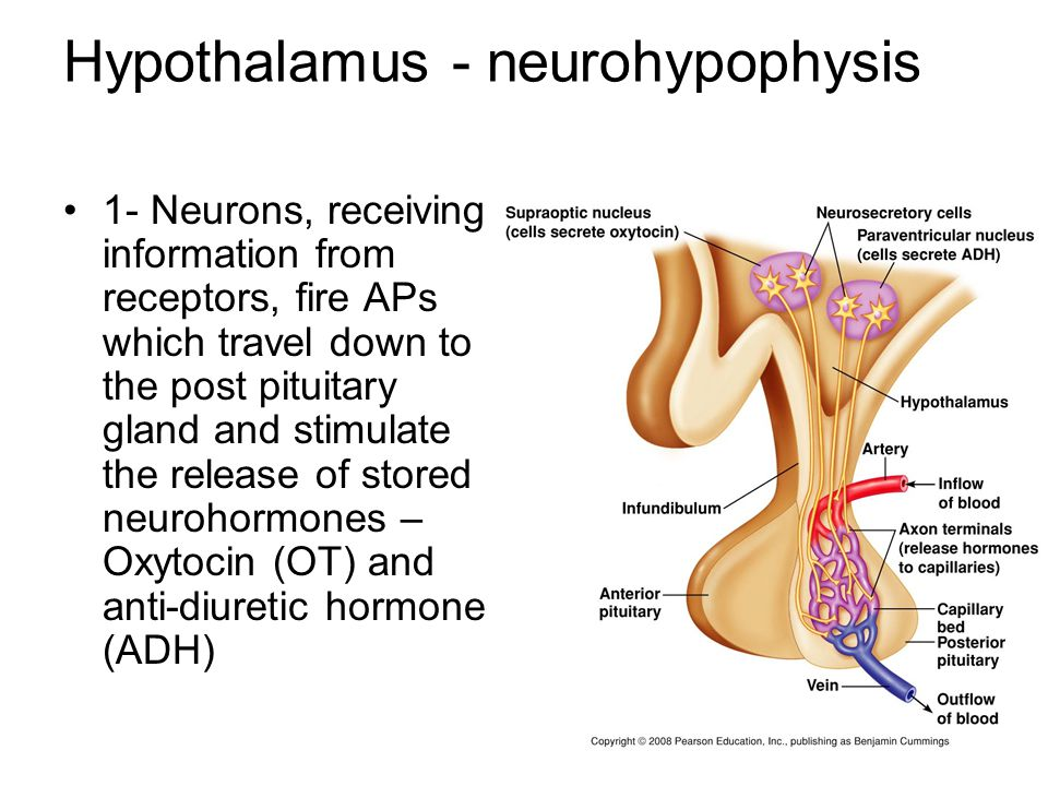 Hypothalamus - neurohypophysis 1- Neurons, receiving information from receptors, fire APs which travel down to the post pituitary gland and stimulate