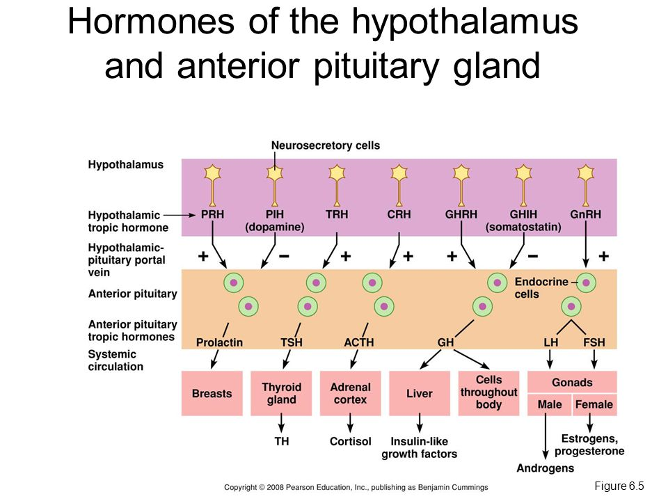 Figure 6.5 Hormones of the hypothalamus and anterior pituitary gland