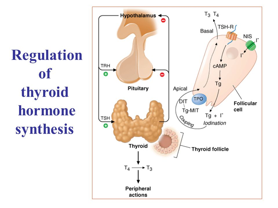 Adenohypophysis Glandula Thyreoidea TSH Hypothalamus TRHSomatostatin (+)  (+)  p l a s m a T3< I> IT4