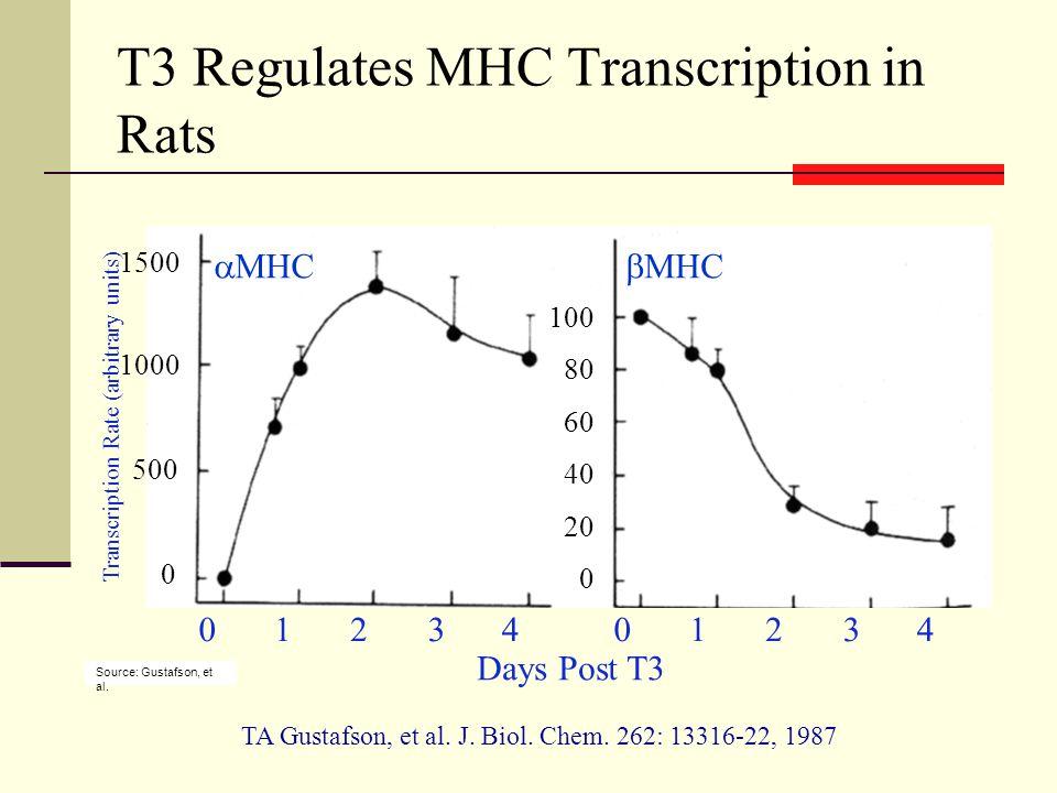 T3 Regulates MHC Transcription in Rats  MHC  MHC 0 500 1000 1500 0 40 80 100 20 60 Days Post T3 0123401234 TA Gustafson, et al.