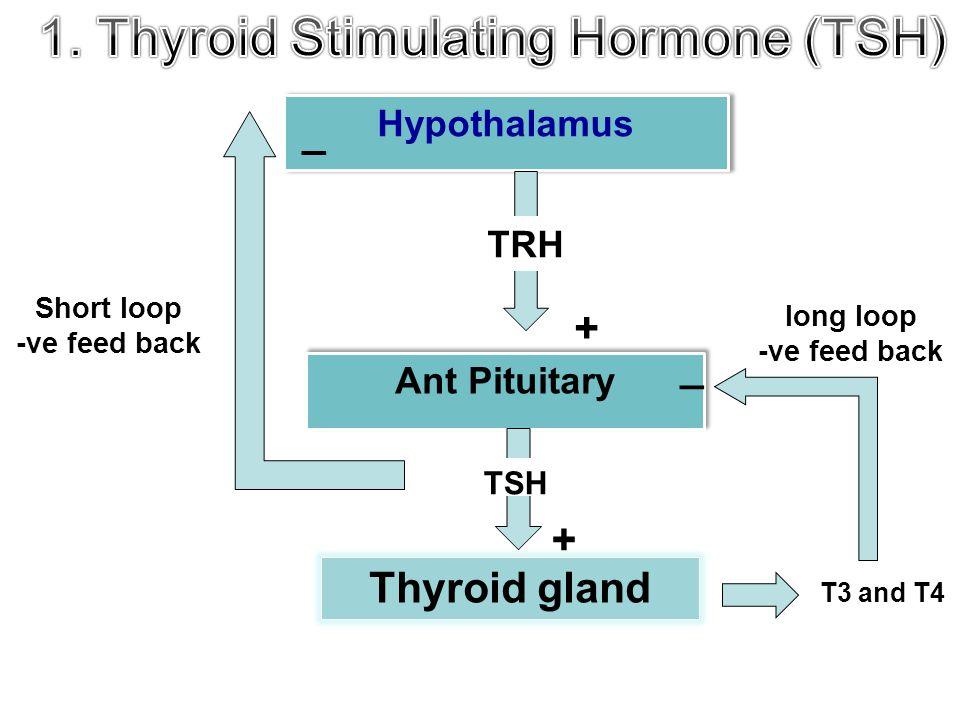 + Hypothalamus Ant Pituitary Thyroid gland Short loop -ve feed back _ TRH + TSH T3 and T4 _ long loop -ve feed back