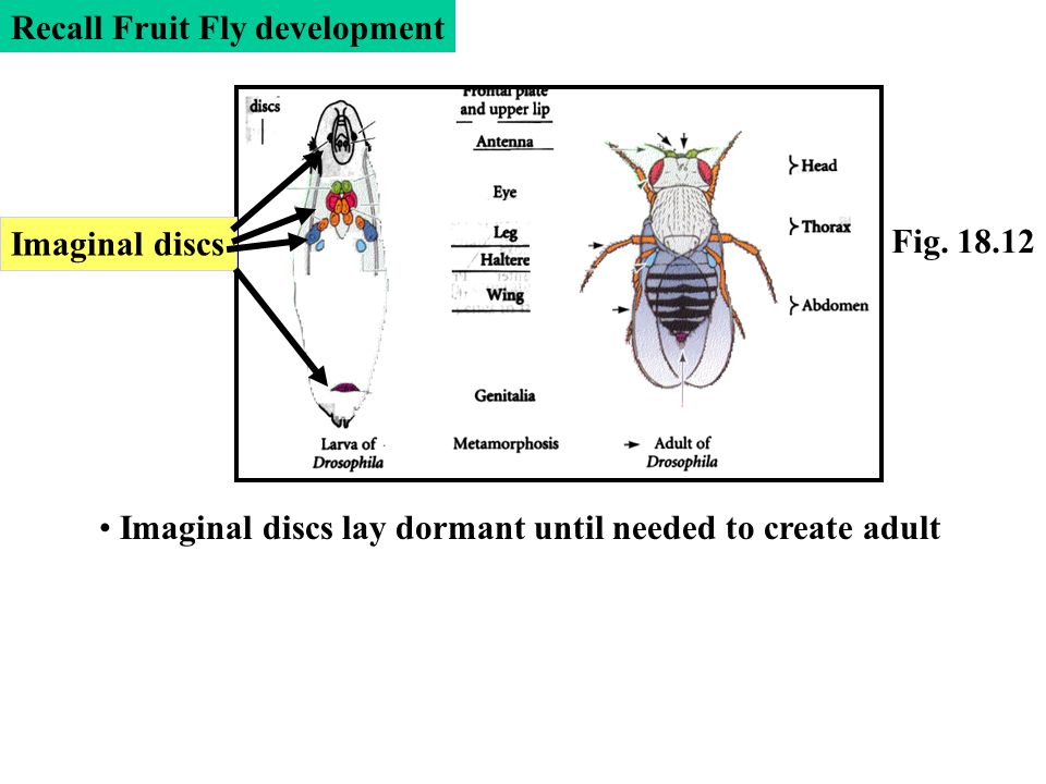 Imaginal discs lay dormant until needed to create adult Fig. 18.12 Recall Fruit Fly development Imaginal discs