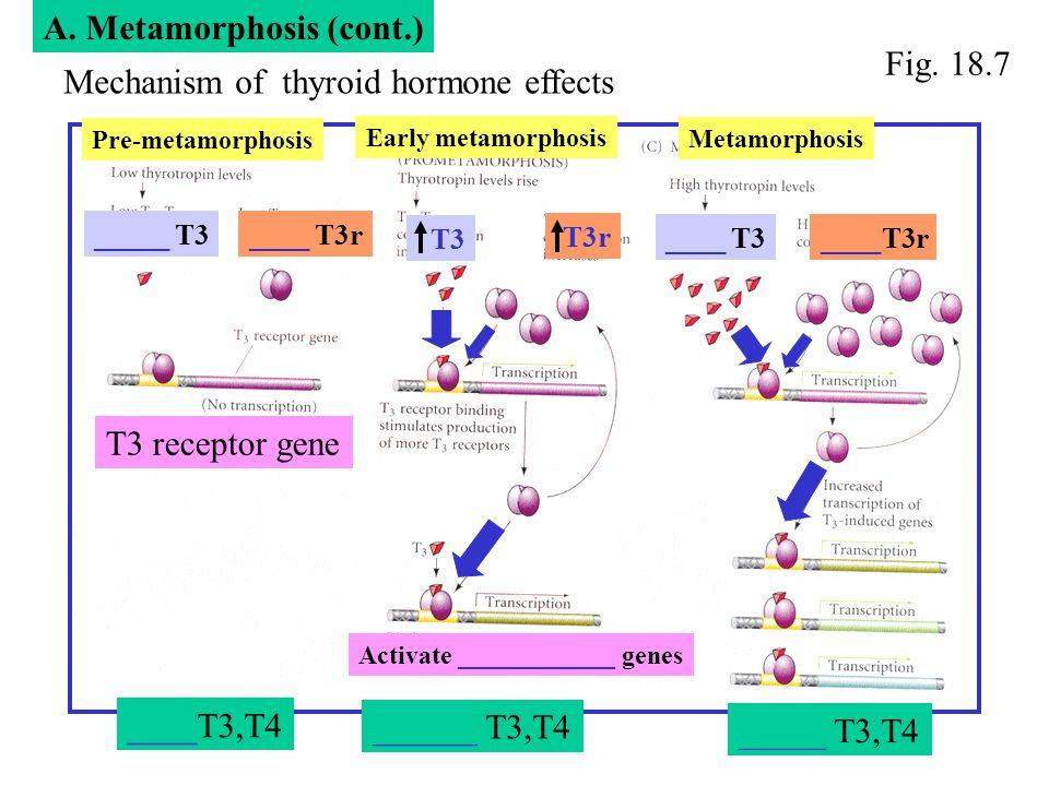 Mechanism of thyroid hormone effects Early metamorphosis Pre-metamorphosis Metamorphosis ____T3,T4 ______ T3,T4 _____ T3,T4 Fig. 18.7 T3 receptor gene